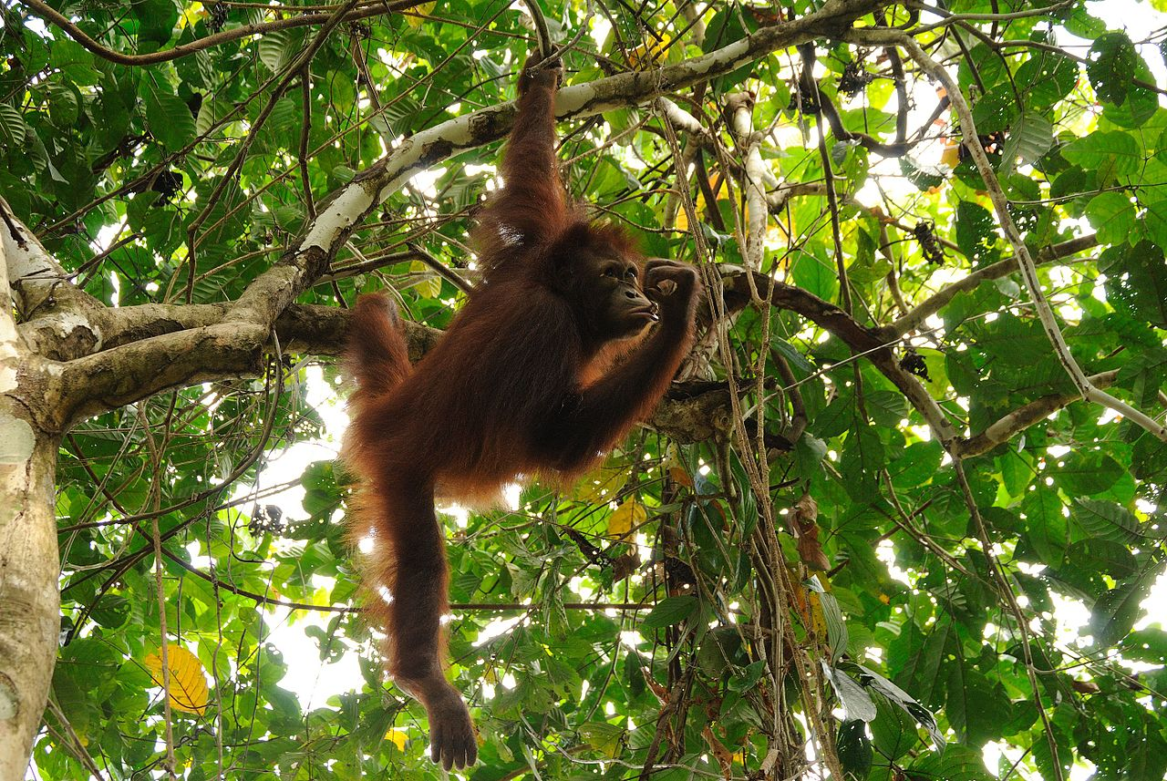 Orangutans living in the wild and Borneo